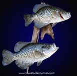 Crappie pair on driftwood, Crappie mount