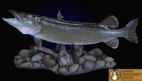 Northern Pike on tabletop habitat scene