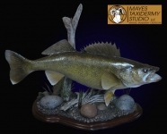 Walleye Reproduction Mount Taxidermy