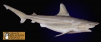 Black Tip Shark Reproduction