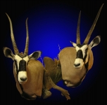 Gemsbok shoulder mount, Gemsbok double shoulder mount,Gembsok, Double Wall Pedestal Mount with Center Accent.