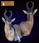 Hartebeest Wall Pedestal Shoulder Mount