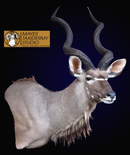 Mayes Taxidermy Studio Kudu Mounts Mayes Taxidermy Studio