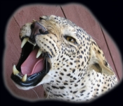 Leopard Mount Face Close-up