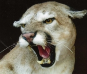 mountain lion mount face close up, cougar mount face close up