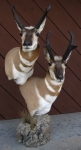 Pronghorn Pedestal Mounts on Rock Base