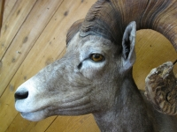 Desert Bighorn Sheep Mount Close-up