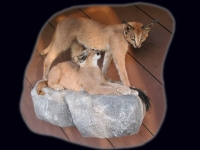 Caracal, Double Lifesize Mount on Wall Mounted Rock