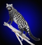 Civet Cat, Lifesize Wall Mount on Driftwood