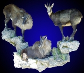 Tahr & Chamois Lifesize Grouping, Wall Mount