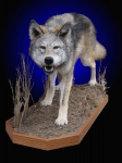 Wolf full mount, full body wolf mount, lifesize wolf mount, wolf mounts