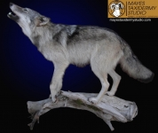 wolf full mount howling, lifesize mount wolf howling