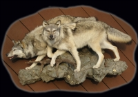 Wolf, Lifesize Pair on Wall Rock Ledge, Wisconsin Wolf mount