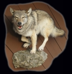 Wolf Lifesize Running on Rock Ledge #2
